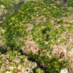 春先頃に沖縄の海に漂うアーサーって普通に食べられるのか気になる